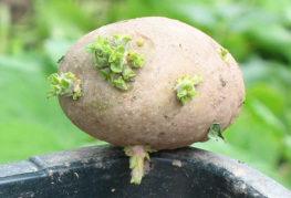 Картофена грудка със зелени кълнове