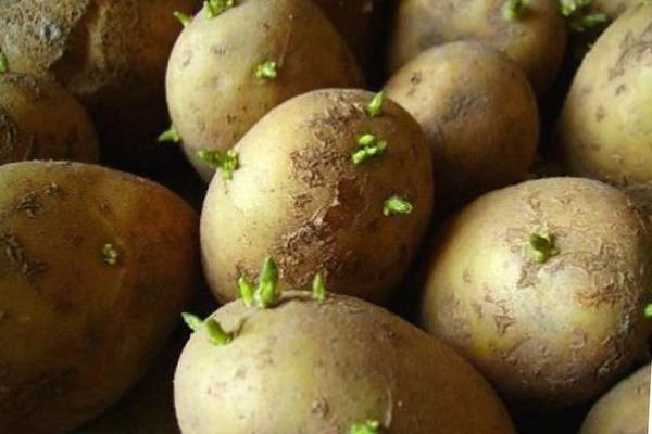 Картофите покълнаха на светлината