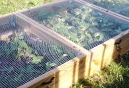 Отглеждане на ягоди в щайги с мрежи