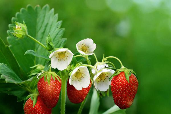Цветя и плодове от ягоди