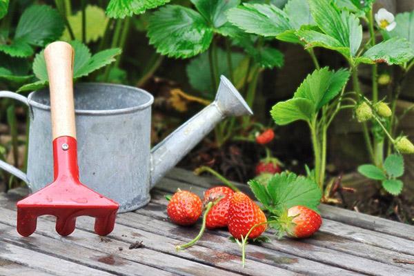 Плододаване на ягоди