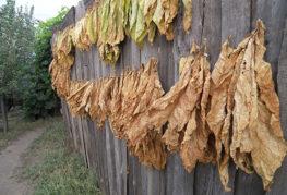 Сушене на тютюн на открито