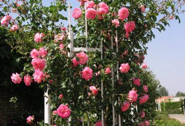 Метална опора за катерещи рози