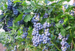 Плододаване на боровинка Нортланд