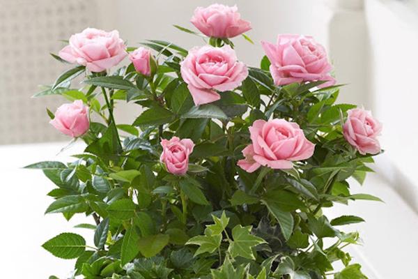 Цъфтяща закрита роза