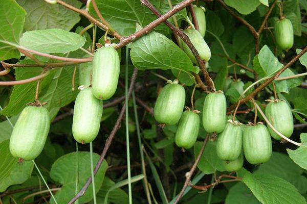 Актинидия коломикта плодове