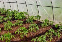 Отглеждане на домати в оранжерия