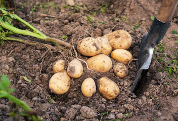 Младите картофени клубени