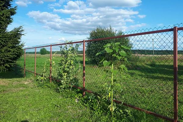 Грах край оградата