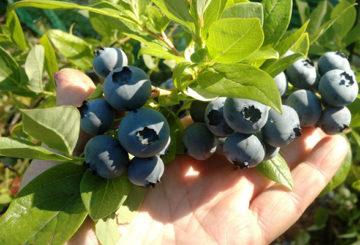 Боровинка издънка с плодове