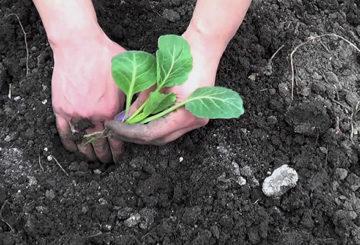 Засаждане на разсад от зеле в открита земя