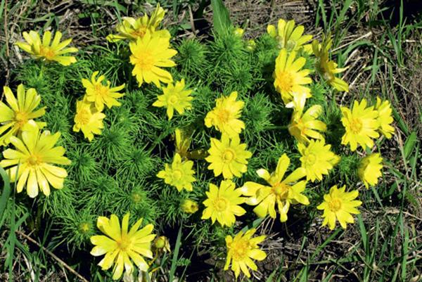 Пролетен адонис