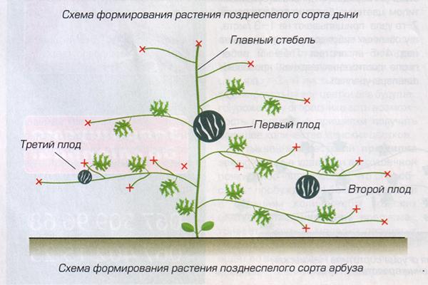 Схема за формиране на диня